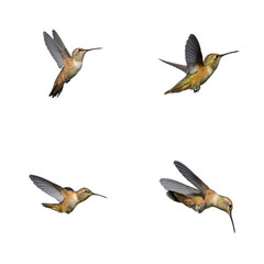 Hummingbird isolated