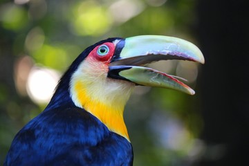 Toucan in Brazil - Ramphastos dicolorus (Green-billed toucan)