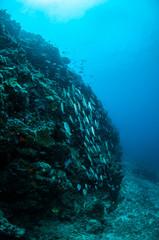 Schooling fishes in Gili, Lombok, Nusa Tenggara Barat underwate
