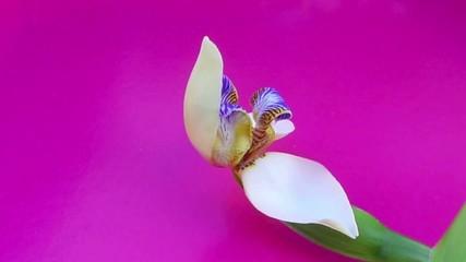 Eclosion, neomarica gracilis, du bouton à la fleur, La Réunion