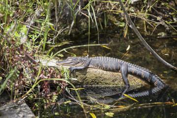 Alligator in the Everglades national park, Florida