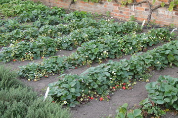 Rows of Strawberry Plants in a Walled Garden.