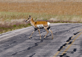 Antelope crossing the road