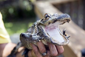 Cute baby alligator being held, Everglades in Florida.