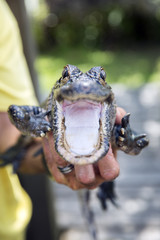 Cute baby alligator, mouth wide open, Everglades, Florida.