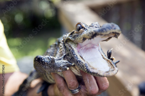 Fotobehang Krokodil Cute baby alligator being held, Everglades in Florida.
