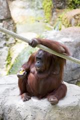 Female orangutan sat eating.