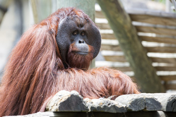 Beautiful male orangutan looking to camera.