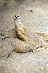 The restful and the watchful meerkat. Florida.