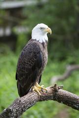 Bald headed eagle sat on perch amongst nature.
