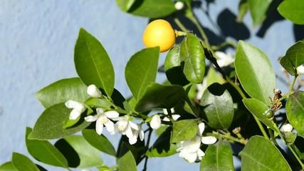 Kalamondin Mandarine, Blüte und Frucht