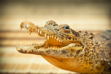 Crocodile with open mouth and sharp teeth closeup