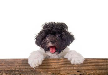 Kleiner Hund schaut über Holzbrett