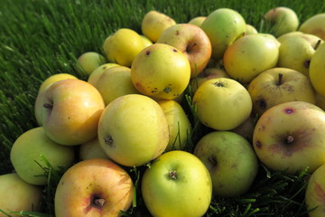 Heap of the ripe winter cultivar apples lying on the lawn grass