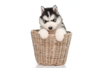 Cute siberian husky puppy inside basket