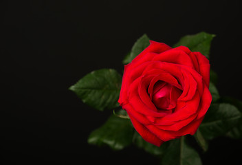 one red rose on black background