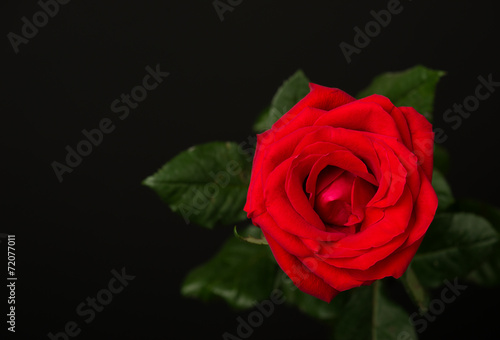 Papiers peints Roses one red rose on black background