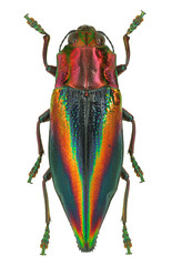 Rainbow coloured Jewel beetle Cyphogastra javanica, Indonesia