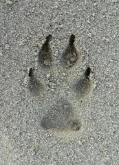 Dog footprint on the sand