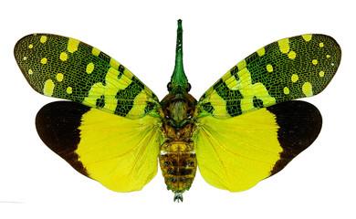 Fulgorid planthopper Pyrops viridirostris from Thailand