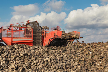 Agriculture, sugar beet, root harvesting equipment in field