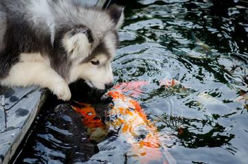 Cute siberian husky kiss carp