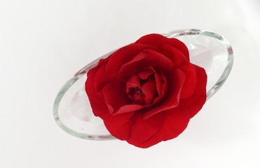rote rose tradition