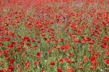 many poppies