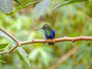 Green-crowned Brilliant hummingbird perching on branch