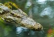 canvas print picture - Alligator