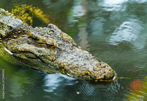 canvas print picture Alligator