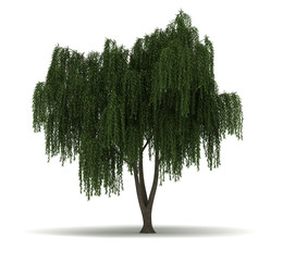 Single Willow Tree
