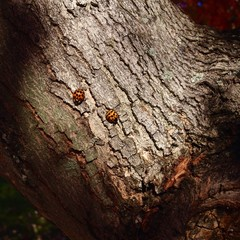 two ladybugs on tree trunk