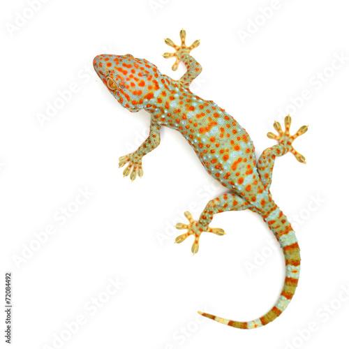 Leinwanddruck Bild gecko