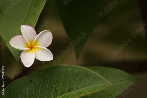 Spoed canvasdoek 2cm dik Frangipani Frangipani in the garden