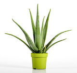 Aloe Vera Plant on Yellow Green Pot