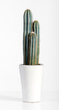 Dark Green Cactus Plant on White Pot