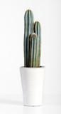 Dark Green Cactus Plant on White Pot