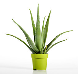 Aloe Vera Plant on Yellow Green Pot