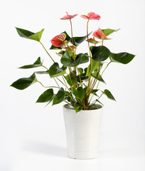 Attractive Anthurium Flower Plant on White Pot