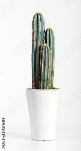 Fotobehang Cactus Dark Green Cactus Plant on White Pot