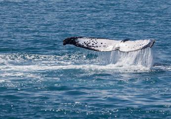 whale Hervey Bay Australia