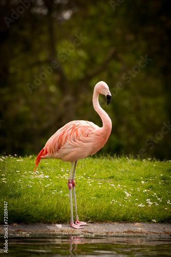 canvas print picture Flamingo