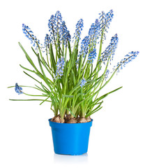 Muscari flowers in a flower pot, isolated on white.
