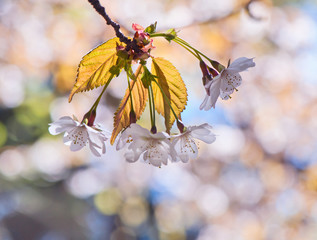 Spring background with bokeh and cherry blossom.