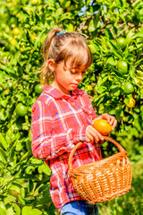Cute seven year old girl picking clementines