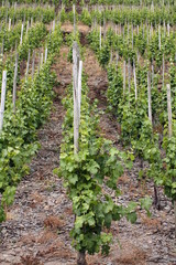Wine field in the Moselle area.