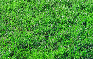 Section of grass from a pesticide free healthy lawn