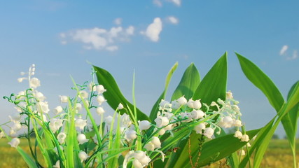 Timelapse shot of the lily of the valley on the cloud background