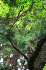 Ural Owl (Strix uralensis fuscescens) in Japan